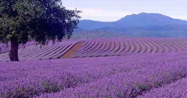 Lavender Infusion in Tihany